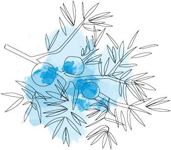 Mistletoe drawing